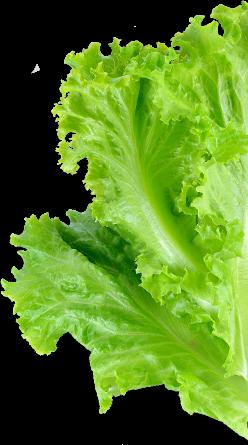 zelena salata1